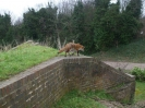 Fox in Fort Amherst