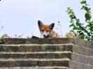 Fox cub at Fort Amherst