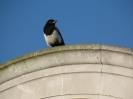 Magpie on the Chapel Roof of the Naval War Memorial