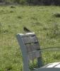 A Sky Lark or is it a Meadow Lark?