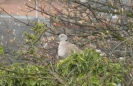 A Ring-necked Dove