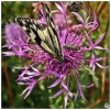 Marbled White Butterfly (Melanargia galathea) & False Oil Beetle (Oedemera nobilis) — at Great Lines Heritage Park.