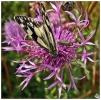 Marbled White Butterfly (Melanargia galathea) & False Oil Beetle (Oedemera nobilis) � at Great Lines Heritage Park.