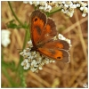 Gatekeeper (Hedge Brown) - Pyronia Tithonus taken on the Great Lines.